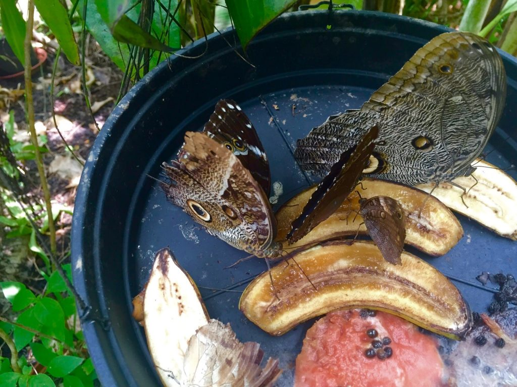 papillon-guyane